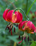 Red Tiger Lilys