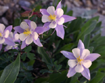 Blue Columbine flowers