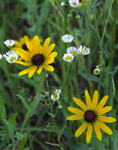 Two Black eyed Susans in a field of wildflowers
