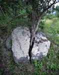 Dove plumb tree growing in and splitting rock