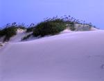 Beach Dasies and Beach Oats in sand dunes