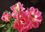 Floribunda rose or Brilliant Pink Iceburg rosa