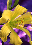 Day lilies with purple background