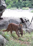 Adult female mountain lion with kittens