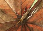 Western Leaf Lizard