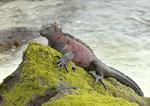 Marine Iguana on a rock by ocean