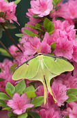 Luna Moth on Azalea
