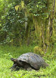 Galapagos Giant Tortoise in the woods