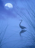 Crane or Egret silhouetted in the water
