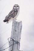 Short-eared owl on a fence post