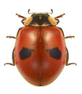 Two spotted lady bug