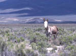 Sheldon National Wildlife Refuge, wild burro