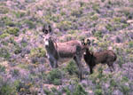 Sheldon National Wildlife Refuge, wild burros