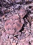Black Rock Desert, desert horned lizard