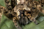 Burrowing wolf spider, Geolycosa spp