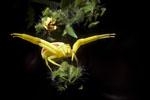 Goldenrod spider, Misumena vatia