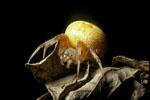 Orb weaver spider, Araneus sp