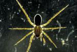 Wolf spider, Lycosidae