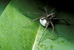 Nursery web spider, Pisaurina mira with egg sac