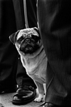 A Pug dog looks out between two gentlemen's pant legs along a street.