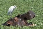 Hippopatamus with bird on head