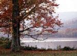 Geese & Fall Tree