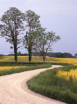 Gravel road with field of yellow wild flowers and trees