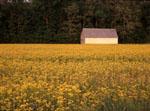 White barn in yellow mustard field