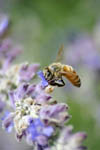 Bee pollinating a flower