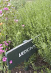 Medicinal herb garden with Hyssop on the right including marigold and periwinkle in background