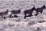 Wild Burros