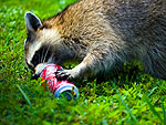 A racoon laps the last drops softdrink from a discarded can