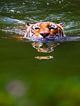 Beating the texas heat, tiger at the Houston zoo swims to keep his cool