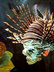 Lionfish (pterois volitans) at the Houston Aquarium, TX.