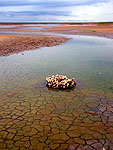 Oysters cling to an old car tire in a  dried out tide pool, refilling at high tide, Bryant Beach, TX