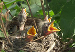 Baby Northern Cardinal in nest