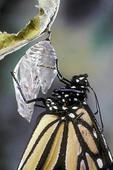 Monarch butterfly, Danaus plexippus, emerging  from chrysalis