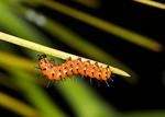 Gulf Fritillary caterpillar.