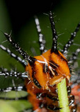 Gulf Fritillary larva consuming a passion fruit plant.