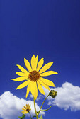 A yellow Common Sunflower stands out against the deep blue Arizona sky.
