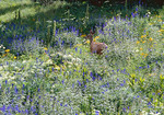 A Mule Deer in a summer field of wildflowers.