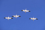 Four Snow Geese flying in formation