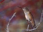 Female Rufus hummingbird perches on a branch.