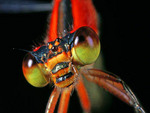 Face of a red bluet damselfly
