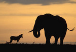 Elephant and zebra silhouetted against the setting sun