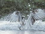Osprey, Fischadler