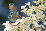 Red-Spotted Purple, Red Spotted Purple