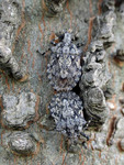 The highly camouflaged brochymenas mating on a tree trunk
