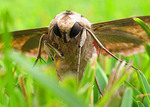Sphinx moth rests on grass after circling a light all night