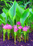 Blooming ginger